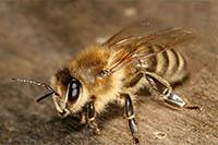 Пасечники назвали причины массовой гибели пчел на территории России
